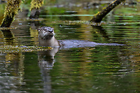 North American river otter (Lontra canadensis) hunting for food in old beaver pond along the Hoh River, Olympic National Park, WA.  Spring.