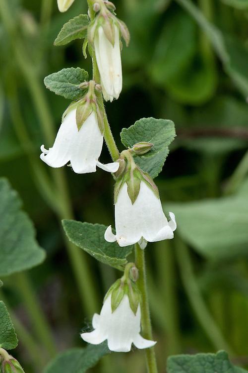 Campanula alliariifolia, mid June. Sometimes known as Ivory Bells.