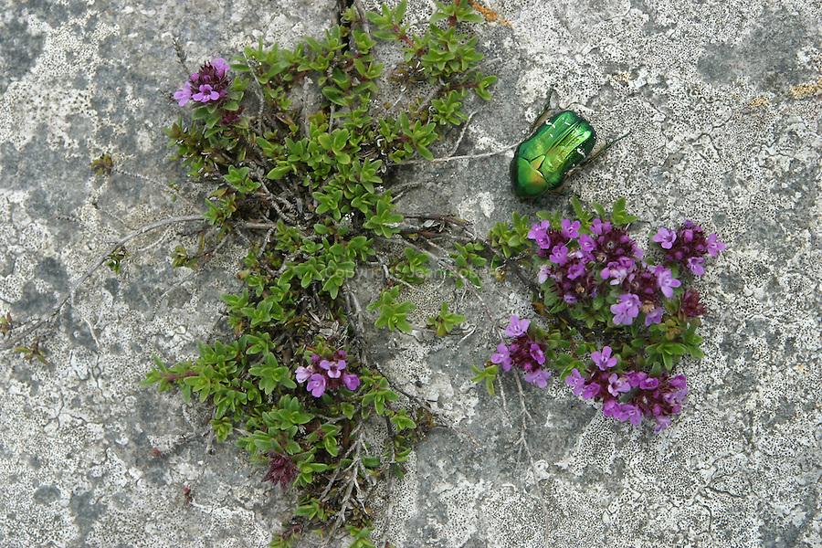 Les fissures des roches calcaires abritent de nombreuses espèces de plantes et de fleurs. ïle d'Inishmore..The limestone fissures conceal a wealth of exotic plants and flowers. Inishmore island