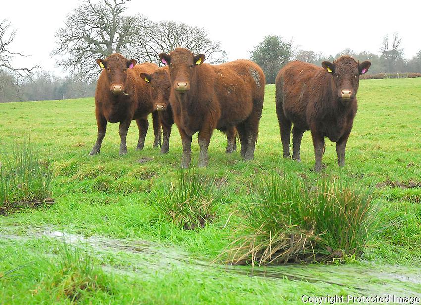 Young North Devon cattle.