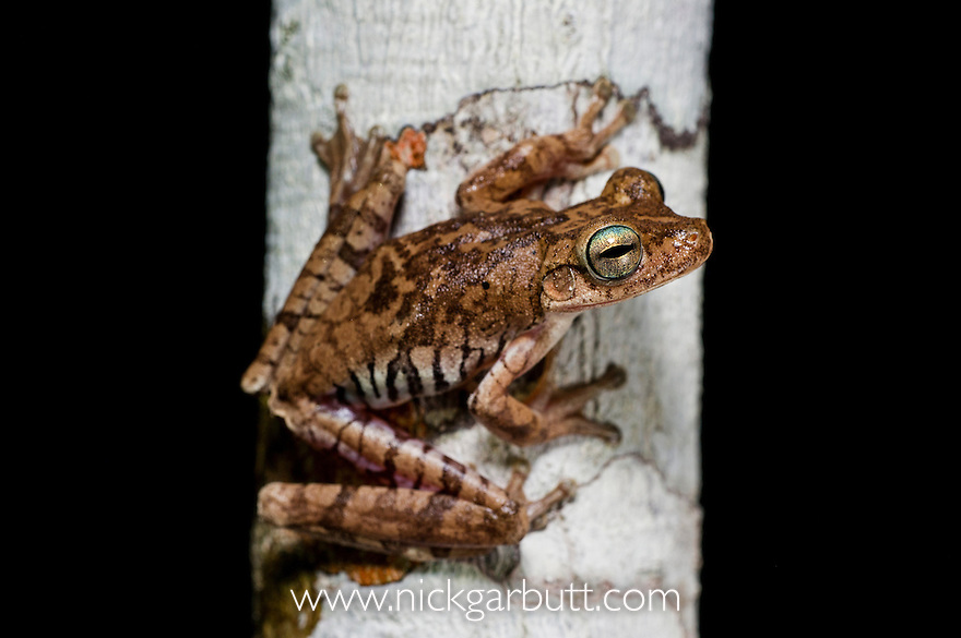 Troschel's Tree Frog or the Convict Tree Frog (Hypsiboas calcaratus) in forest understorey at night. Paujil Nature Reserve, Magdalena Valley, Colombia.