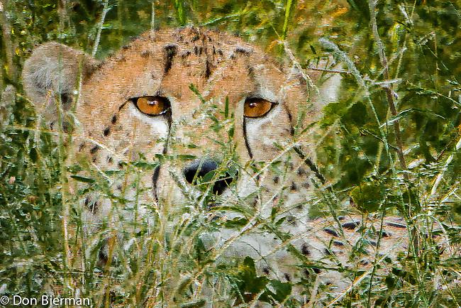 Leopard Eyes IMG_3131.tif
