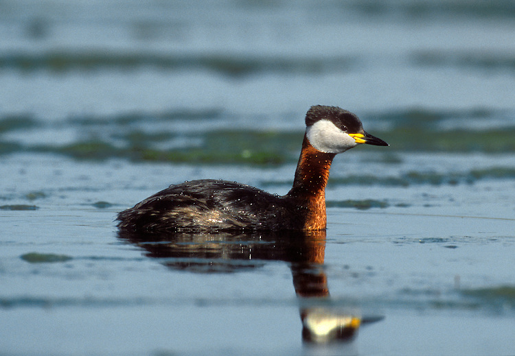 Red-necked Grebe Podiceps grisegena L 40-45cm. Smaller and more stocky than Great Crested, with striking summer plumage. Note diagnostic yellow-based bill. White wing panels seen in flight. Sexes are similar. Adult in summer has red neck and upper breast; head has white-bordered pale grey cheeks and black cap. Upperparts otherwise grey-brown and underparts whitish with grey streaks on flanks. In winter, loses neck colours but often retains hint of reddish collar. Cheek pattern is less well defined and ear coverts are grubby. Juvenile is similar to winter adult with more extensive red on neck. Voice Mostly silent. Status Scarce winter visitor to sheltered inshore seas and estuaries; occasional on inland lakes and reservoirs.