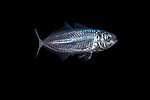 Atlantic Horse Mackerel,Trachurus trachurus 11-7-17-4068 ID by Oyvind Eriksen Saether, Norway