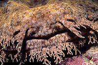 head of tasseled wobbegong shark, Eucrossorhinus dasypogon, Ningaloo Reef Marine Park, Exmouth, Australia, Indian