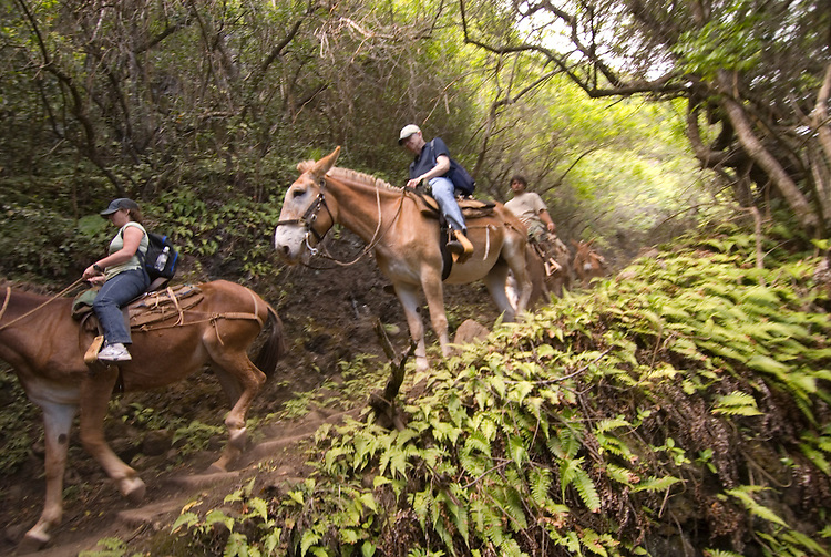 Hawaii: Molokai, the Mule Ride from the cliff tops down 1,600 feet to the leper colony at Kalaupapa..Photo himolo141-72189.Photo copyright Lee Foster, www.fostertravel.com, lee@fostertravel.com, 510-549-2202