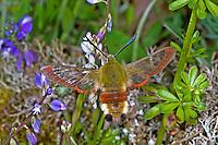 Hummelschwärmer, im Schwirrflug, Blütenbesuch, Nektarsuche, Hummel-Schwärmer, Hemaris fuciformis, Haemorrhagia fuciformis, broad-bordered bee hawk-moth, broad-bordered bee hawkmoth, Le sphinx fuciforme, Schwärmer, Sphingidae, hawkmoths, hawk moths, sphinx moths