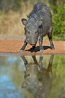 650520256 a wild javelina or collared peccary dicolyties at a pond on beto gutierrez santa clara ranch hidalgo county lower rio grande valley texas united states