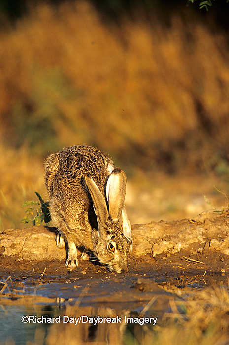 02203-00203 Black-tailed Jack Rabbit (Lepus californicus) drinking at water Starr Co. TX