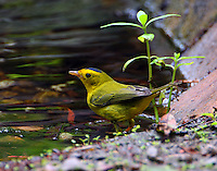 Adult male Wilson's warbler at pool