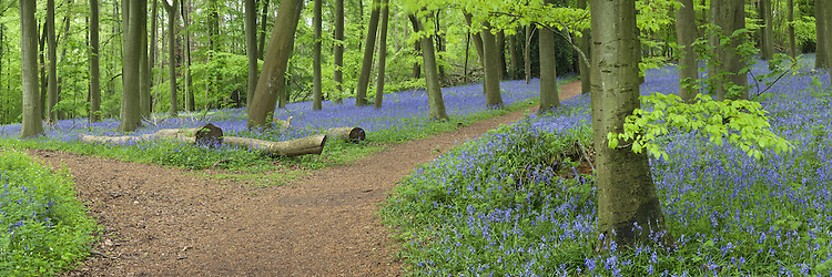 Spring bluebells in beech woodland on the Chiltern Hills above Mapledurham near Reading, Berkshire, Uk