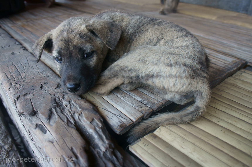 resting puppy  on house terasse in  village, island  Flores in archipelago of Indonesia