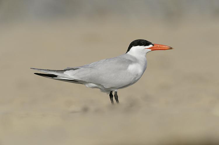 Caspian Tern - Sterna caspia
