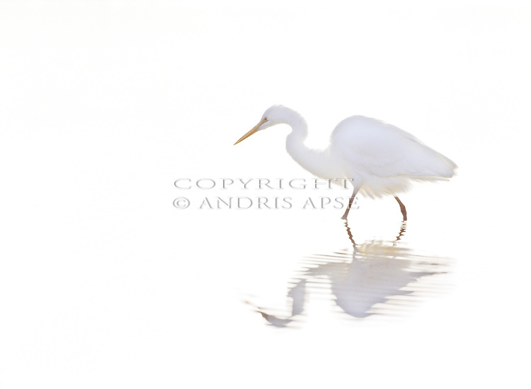 White Heron in fog on Okarito Lagoon. Westland New Zealand.