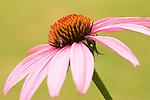 Coneflower bloom.
