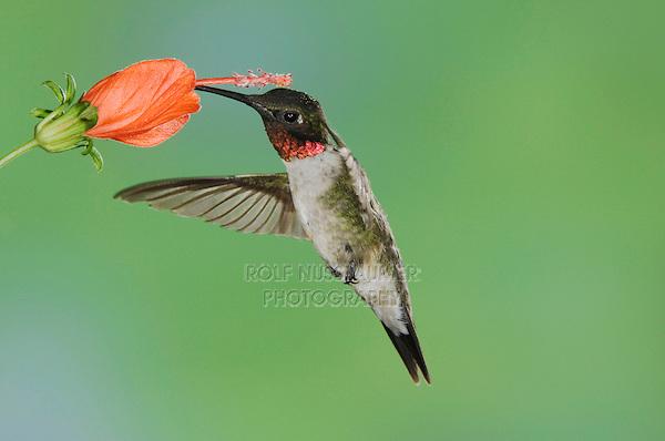 Ruby-throated Hummingbird, Archilochus colubris, male in flight feeding on Turk's Cap (Malvaviscus drummondii) , Willacy County, Rio Grande Valley, Texas, USA, May 2006