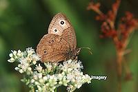 03499-003.11  Common Wood Nymph (Cercyonis pegala) on Common Boneset (Eupatorium perfoliatum) Marion Co. IL