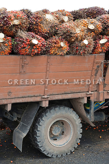 A close up of truck load of oil palm fresh fruit bunches (FFBs) being delivered to the mill. The Sindora Palm Oil Mill, owned by Kulim, is green certified by the Roundtable on Sustainable Palm Oil (RSPO) for its environmental, economic, and socially sustainable practices. Johor Bahru, Malaysia