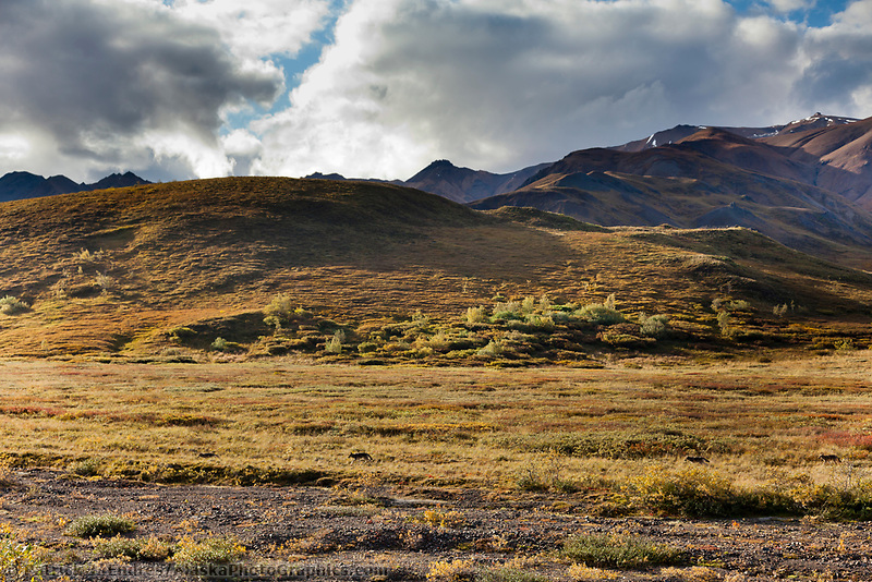Grant creek wolf pack travels the autumn tundra in Highway pass, Denali National park, interior, Alaska