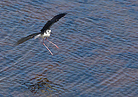 A black-necked stilt comes in for a landing.