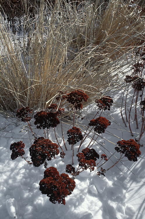 Sedum 'Autumn Joy' aka 'Herbstfreude' in winter seed-heads with ornamental grass in snow