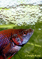 BY03-064z  Siamese Fighting Fish - male making protective bubble nest for eggs - Betta splendens