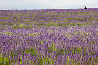 Man walks through Snowshill lavender field, Worcestershire, United Kingdom The Cotswolds