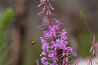 """Fireweed and Bumblebee""<br />