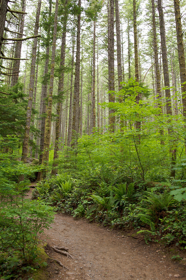 Hiking path through tall trees, Washington state, USA