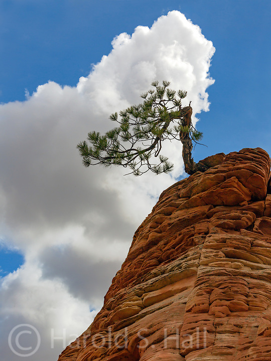A famous bonsai tree in Zion National Park Utah.