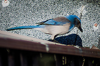 Looking for food, a California Scrub-Jay explores the roof of an urban garden shed.