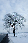 Elm tree in winter with hoar frost