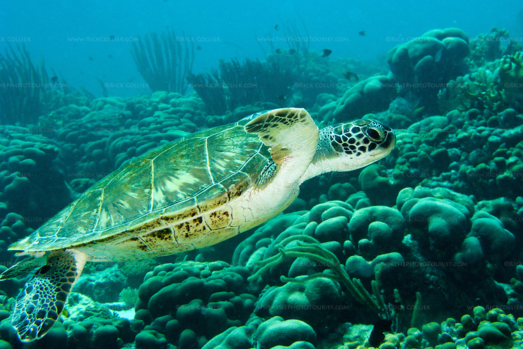 """Diving Bonaire, Netherland Antilles -- A green sea turtle cruises past the reef coral terrain.  (""""Andrea 1"""" dive site)."""