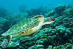 "Diving Bonaire, Netherland Antilles -- A green sea turtle cruises past the reef coral terrain.  (""Andrea 1"" dive site)."