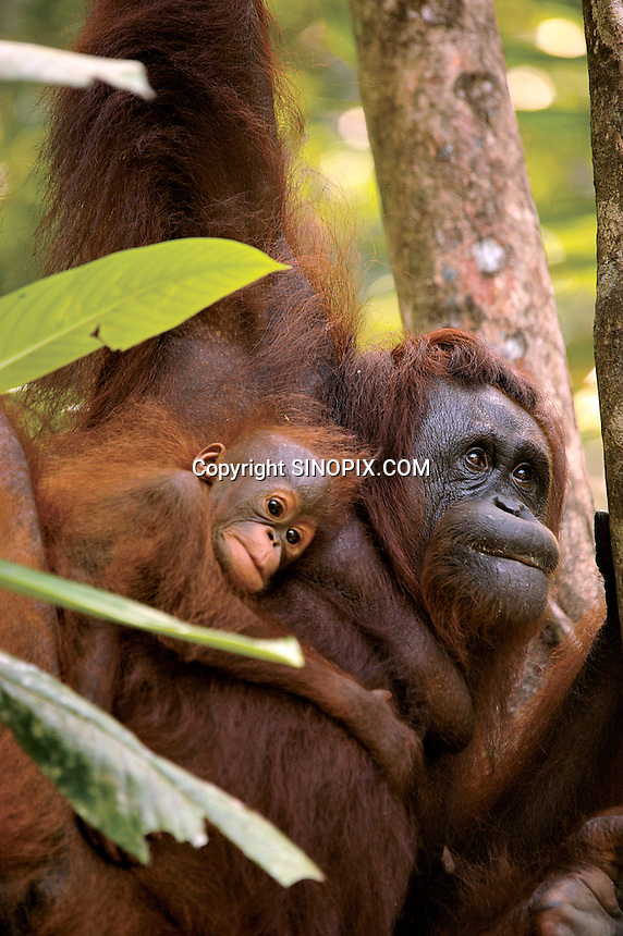 Delima never lets her baby move more than feet from her body at the Semenggoh Reserve, Sarawak, Malaysia, August 2009.  They  they are part of Sarawaks's Orangutang Rehabilitation Programme.<br /><br />Photo by Richard Jones / Sinopix