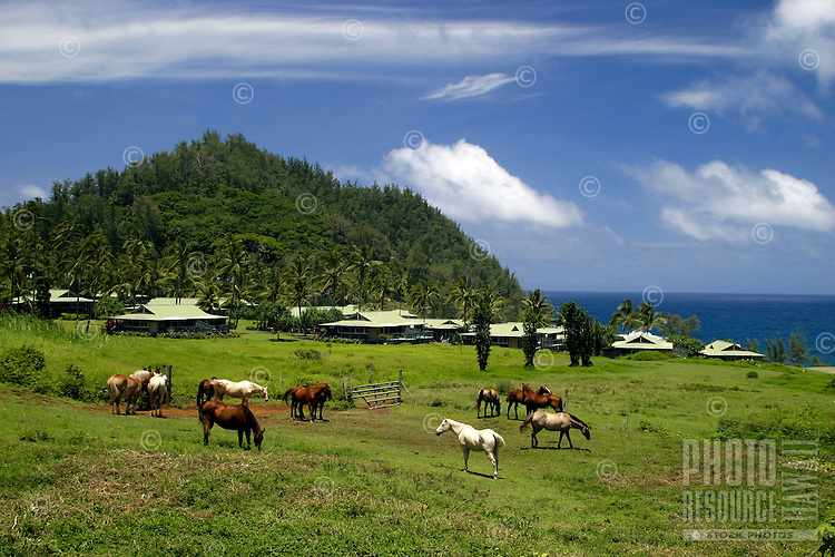 Horses graze in an open pasture in front of the Hotel Hana-Maui's Sea Ranch Cottages located along Kaihalulu Bay, a stones throw away from the heart of Hana.
