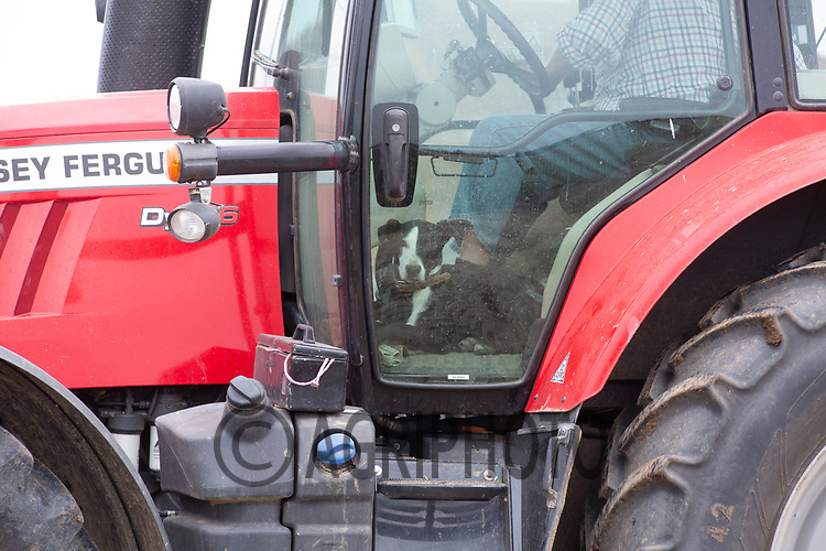 7.9.2020 A dog riding in a tractor cab <br /> ©Tim Scrivener Photographer 07850 303986<br />      ....Covering Agriculture In The UK.