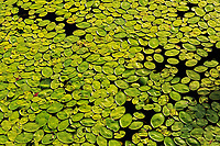 Lily pads on Old Women Lake<br />