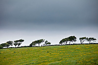 Windswept trees in barren landscape in The Burren, County Clare, West of Ireland