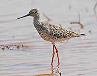 Adult lesser yellowlegs in breeding plumage