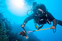 Scuba diver kills a lionfish (Volitans Pterois), an invasive species, on a Roatan reef; West End, Roatan, Honduras. The diver is licensed to fish in the marine park.