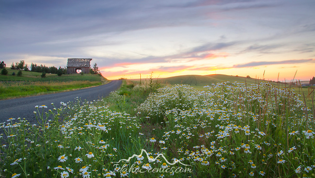 Idaho, North Central, Moscow. A barn and colorful sunset on a daisy lined country road of the Palouse in Summer.