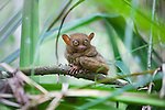 A wild Tarsier sits in a tree on the island of Bohol, Philippines.