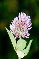 Red Clover (Trifolium pratense), Mt. St. Helens National Volcanic Monument, Washington, US