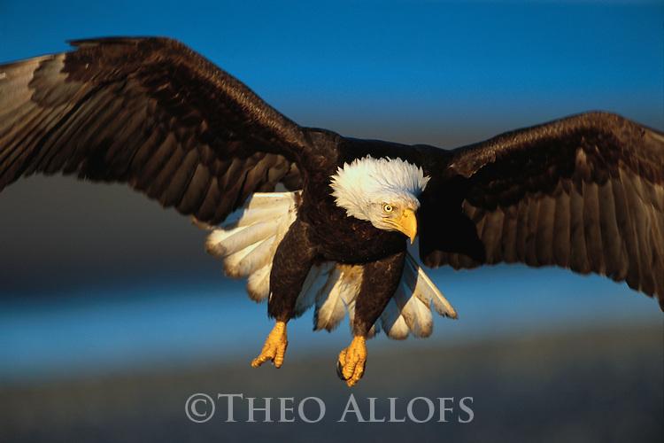 Bald Eagle Preparing to Land, Kenai Peninsula, Alaska