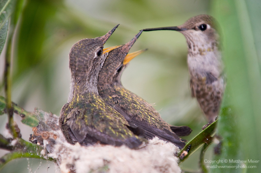 La Jolla, California; a female Anna's Hummingbird (Calypte anna) hovers, wings beating rapidly, near her nest, while feeding her two, three week old chicks