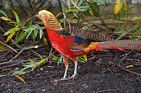 Golden Pheasant or Chinese Pheasant (Chrysolophus pictus)cock with female, Whitewell,, Lancashire.