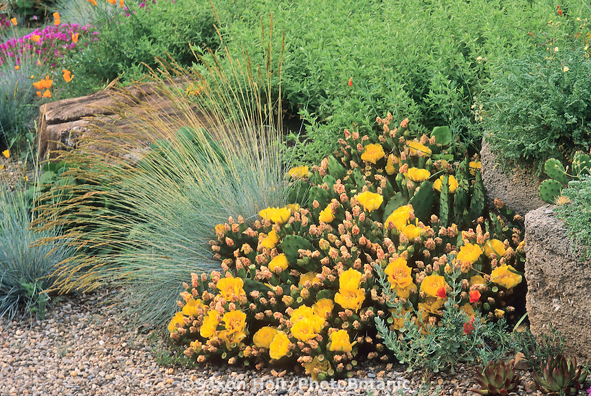 Hardy succulent Cactus Opuntia humifusa in gravel bed with grass Festuca in drought tolerant Pennsylvania garden