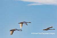 00758-02117 Trumpeter Swans (Cygnus buccinator) in flight  Riverlands Migratory Bird Sanctuary St. Charles Co., MO