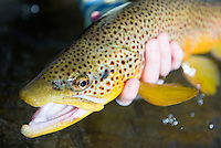 This brown trout took a streamer pattern on a tributary of the Missouri River.